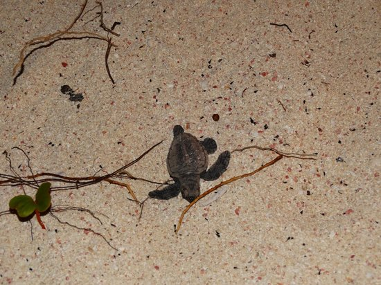 Palm Island Resort & Spa: Baby turtle