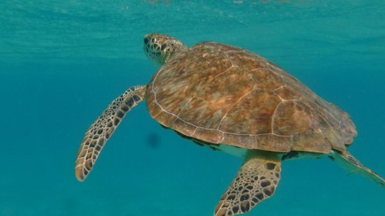 Palm Island Resort & Spa : Swimming with turtles at Tobago Cays