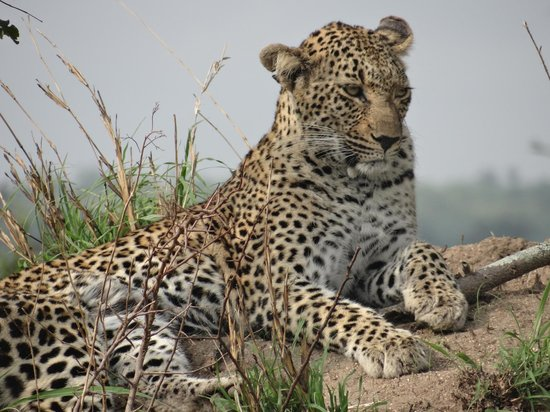 Idube Game Reserve Lodge : Lazy Leopard!