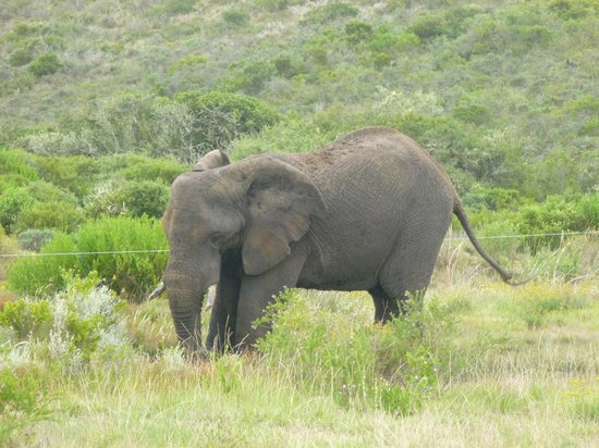 Garden Route Game Lodge : Elephant