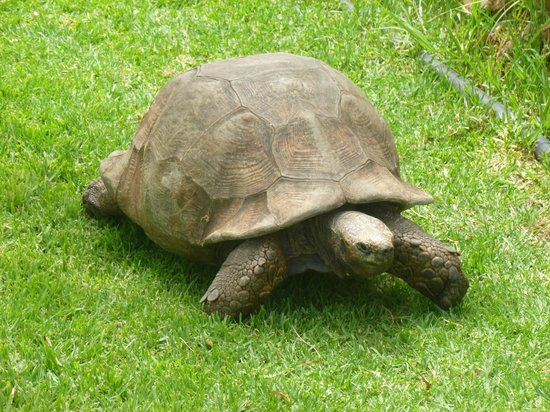 Garden Route Game Lodge : very old tortoise