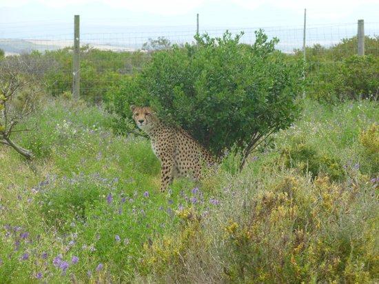 Garden Route Game Lodge: Cheetah