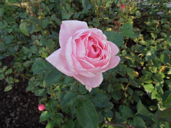 """公園内の薔薇です - Picture of Rose Garden (Rosengarten), BernPhoto: """"公園内の薔薇です"""""""