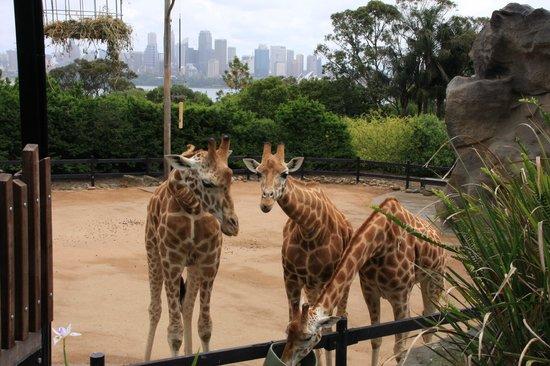 Taronga Zoo: Жирафы