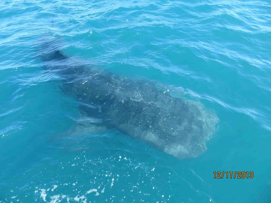 Cortez Club Scuba: Whale Shark