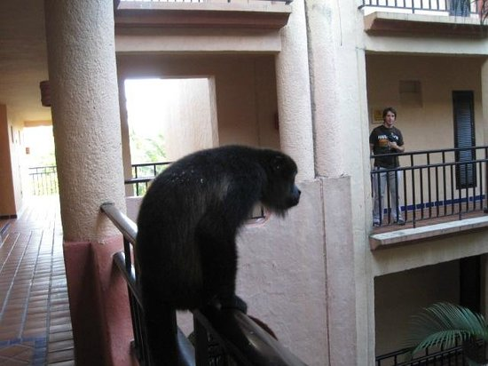 Sandos Playacar Beach Resort: Howler monkey who visit rooms each morning