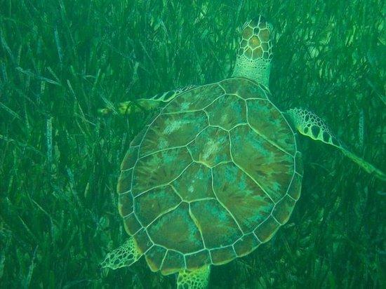 West Wind Club II: One of 5 turtles I saw snorkeling