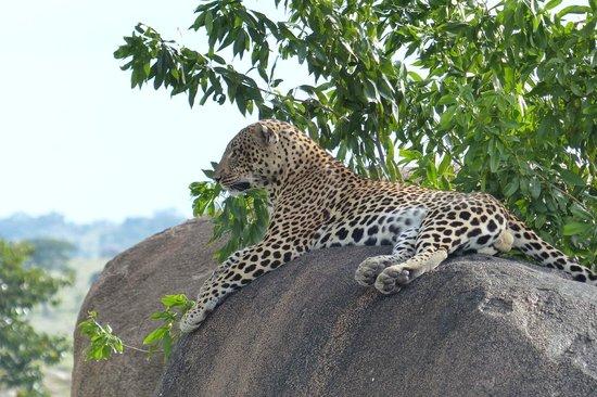 Access2Tanzania : Leopard in Northern Serengeti