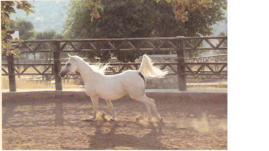 Restaurant Telaat Jelad: خيول عربية اصيلة - مسابقات جمال الخيول في النادي