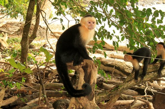 Hermosa Bungalows: Capuchin monkey at Manuel Antonio