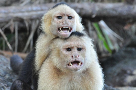 Drake Bay, Costa Rica: Happy monkeys on the beach
