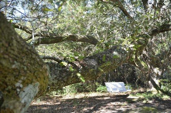 Woodridge Bed and Breakfast of Louisiana: air ferns on the live oak