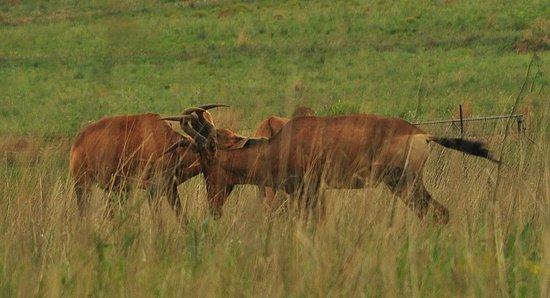 Rooibokke at Rietvlei Nature Reserve, Pretoria, SA