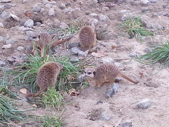 Parc Zoologique : suricate