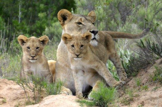 Shamwari Game Reserve Lodges: The absolute highlight of our time at Shamwari - 2 month old cubs, first sighting at Shamwari