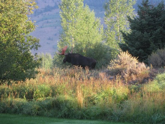 Teton View Bed & Breakfast: Moose