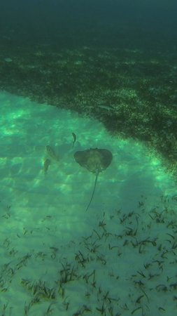 Bananarama Beach and Dive Resort: We saw this stingray while snorkeling in front of the hotel
