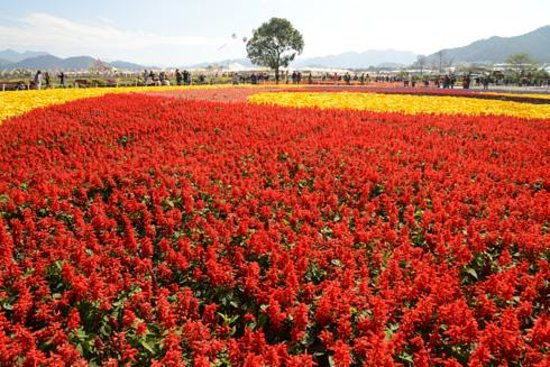 sea of flowers in xinshe, taichung city  picture of taichung, Natural flower