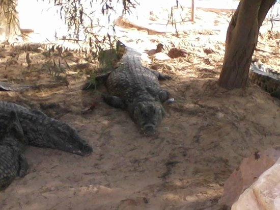 Djerba Explore : gros croco