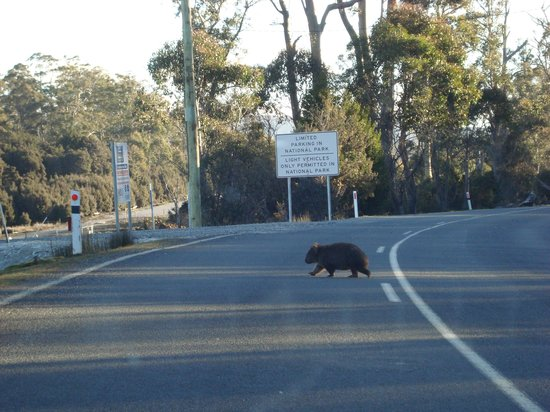 Cradle Mountain Wilderness Village: wombat na saida