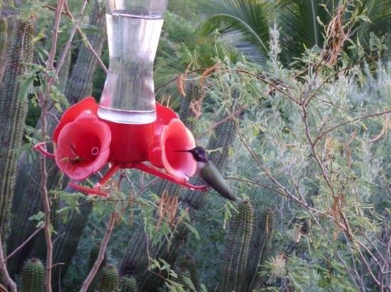 Cremin's Casas: hummingbird