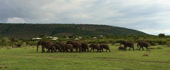 Mara Bushtops : A huge family of elephants right by the camp