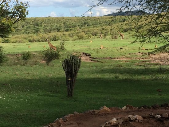 Mara Bushtops : View of the salt lick teeming with animals from the restaurant terrace