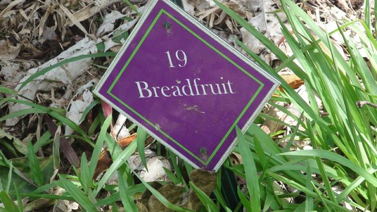 Cape Trib Exotic Fruit Farm: Bread tree