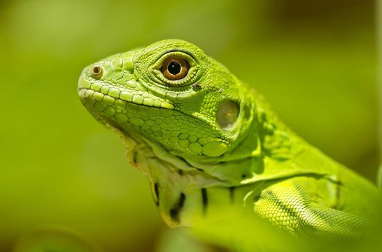 Island Roots Charters: Juvenile Green Iguana