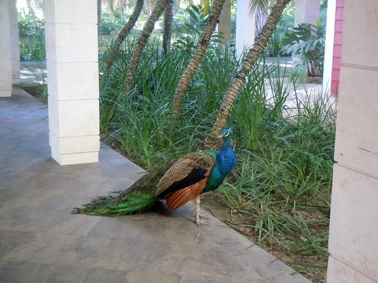 Barcelo Bavaro Beach - Adults Only : Peacocks. They loved their daily granola from our minibar!