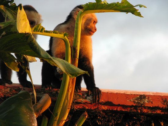 Hotel Si Como No: Capuchin Monkey by adult pool