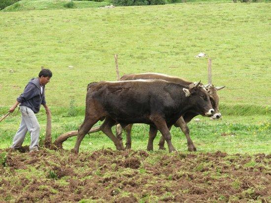Sacred Valley, Peru: ARANDO LA TIERRA CON BUEYES PARA LA SIEMBRA