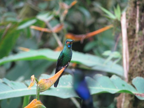 Villa Blanca Cloud Forest Hotel and Nature Reserve: Hummingbird at the hummingbird gallery