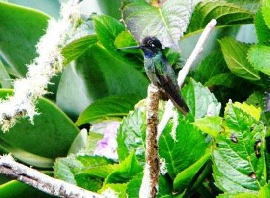Savegre Hotel, Natural Reserve & Spa: Hummingbird in San Gerardo reserve