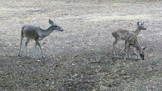 T9C Guest Lodging: the deer family