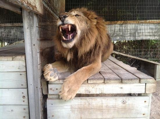 Octagon Wildlife Sanctuary And Rehabilitation Center: Baxter the lion