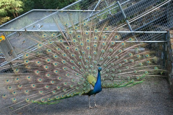 Cataract Gorge Reserve : Peacock