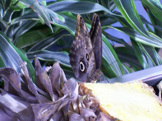 National Museum of Natural History: Butterfly feeding on a pineapple