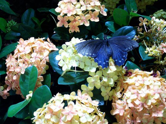 National Museum of Natural History: Swallowtail on an Ixora