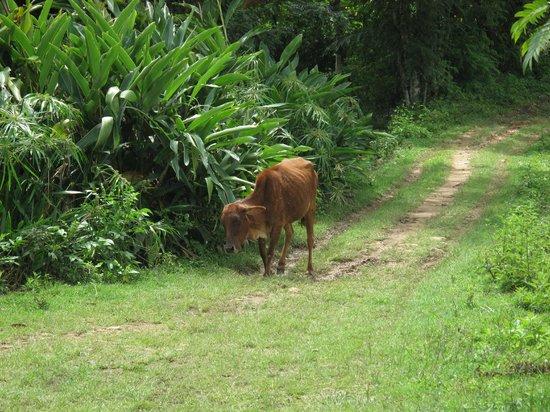 Amba Estate Farmstay: Blind cow