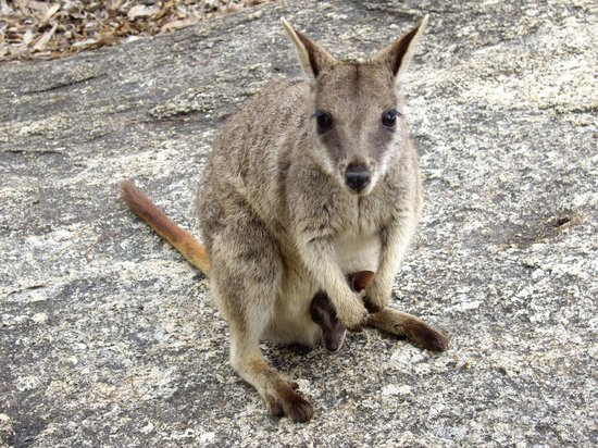 Perentie Tours: Rock-wallaby