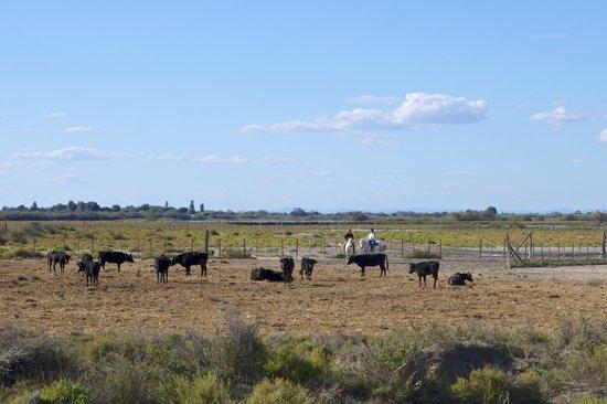 Cabanes de Cacharel: Me voilà au milieu des taureaux !