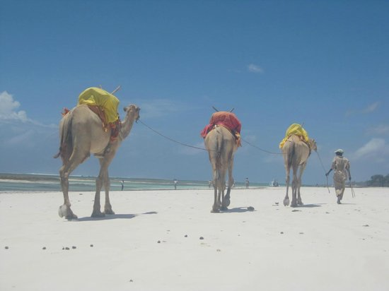 Diani Beach : The camels