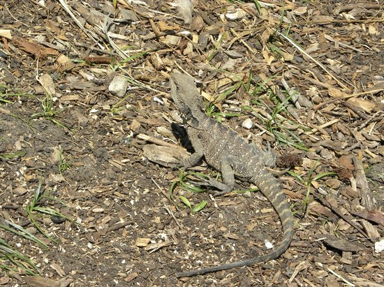 Manly Beach: camaleonte