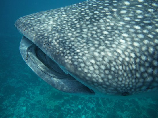 Vakarufalhi Island Resort: squalo balena