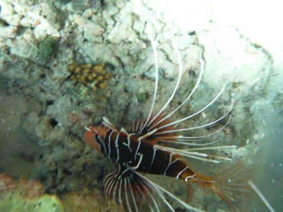 Vakarufalhi Island Resort: pesce scorpione