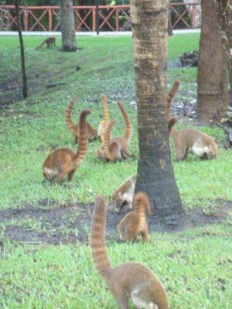Grand Bahia Principe Coba: Coatis!!!