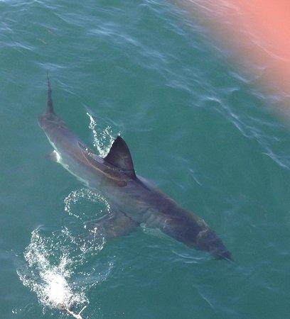 Great White Shark Tours : Amazing Day