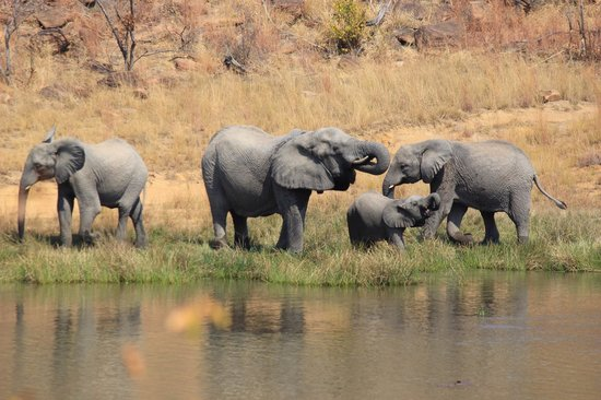 Makweti Safari Lodge : Elephants at the water cooler