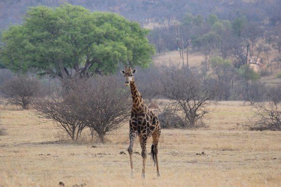 Makweti Safari Lodge: Giraffe out for a stroll